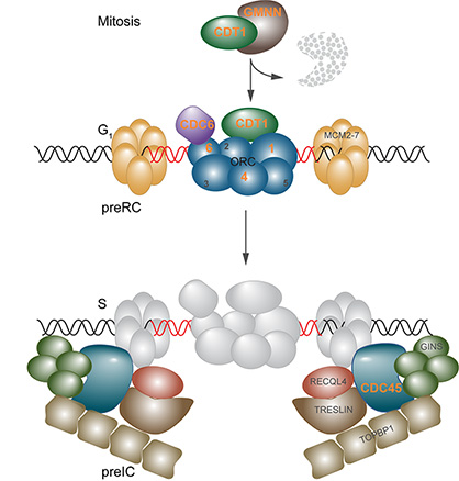 genes associated with Meier-Gorlin syndrome play essential roles as part of bigger complexes in the initiation of DNA replication