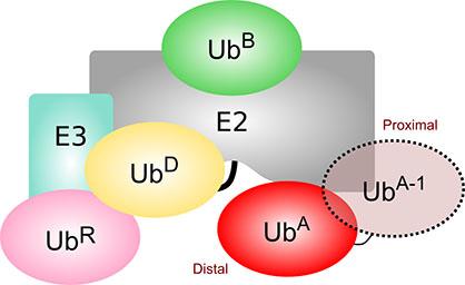 E2 E3 Ubiquitin