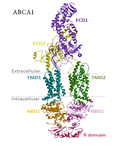structure of ABCA1