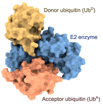 Ubiquitin molecules bound to E2