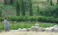 Central Otago farmer tends to his flock