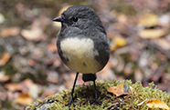 south-island-robin-186px