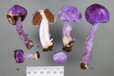 Picture of six specimens of purple pouch fungus.