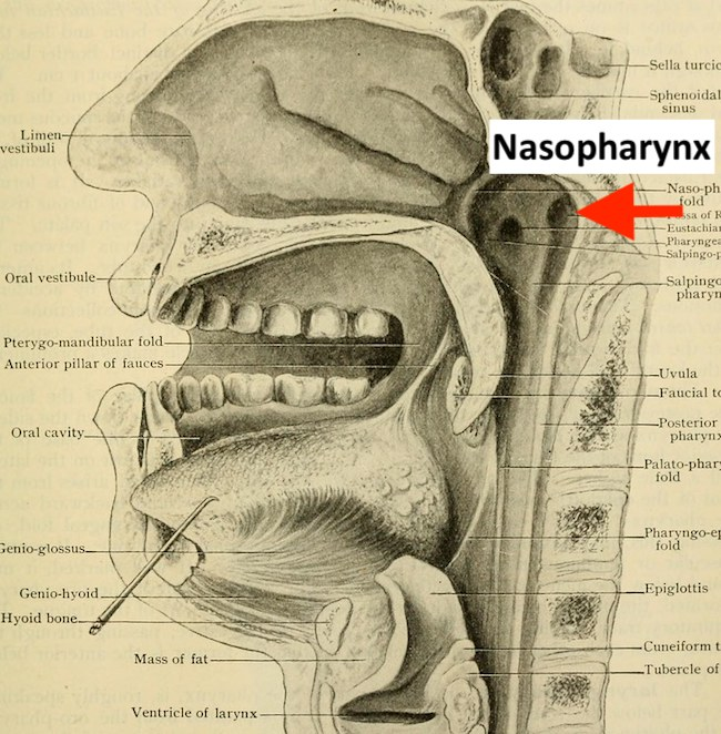 Anatomical drawing of a head in cross-section, with the nasopharynx marked with an arrow.