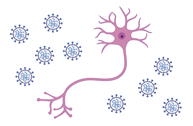 A cartoon of a neuron surrounded by coronavirus particles (not drawn to scale).