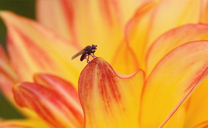 Fly on a flower - research at Otago