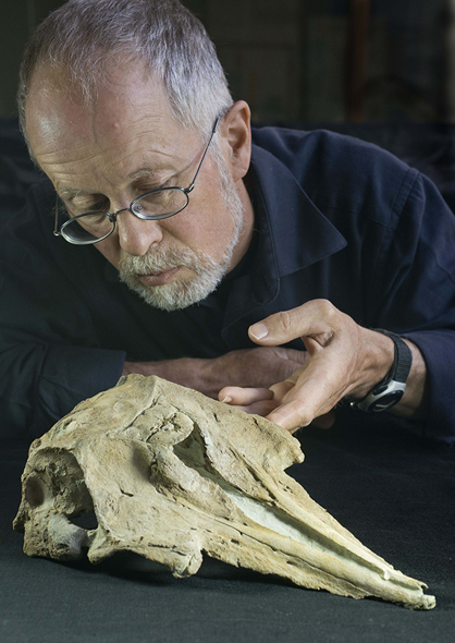 Ewan Fordyce with the skull of the fossil dolphin Papahu taitapu (Photo R Ewan Fordyce)