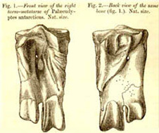 Huxley's original illustration of the ankle bone is reproduced here of Palaeeudyptes antarcticus. The left figure shows a front view; the right figure, the back view. One trochlea, or projection for a toe, is missing – from the right side of the front view.