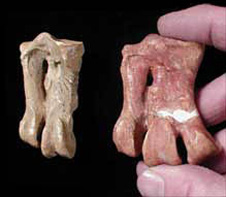 Cast of Mantell's original ankle bone on the left; original fossil of a Palaeeudyptes-like penguin on the right. Both specimens from Geology Museum, University of Otago.
