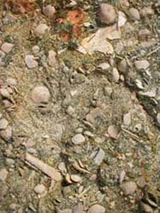 Close-up of the surface of a block of Kokoamu Greensand, showing abundant small brachiopods mostly under 10 mm across. Towards lower left is the incomplete large spine of a sea urchin. Fragments of smooth-shelled scallops are also present.