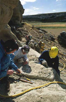 Field extraction of a small fossil whale