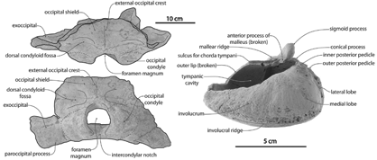 Labelled photographs of the skull (left) and tympanic bulla (right) of Tohoraata waitakiensis,<br/> from Boessenecker and Fordyce (2014)