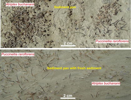 The upper image shows two plant species growing in a young sediment pan immediately below a mudstone outcrop formed by historic mining activity. The lower image shows the same species almost completely buried by mudstone washed down on to a sediment pan during a rain event that occurred a day earlier.