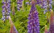 Lupin flowers thumbnail
