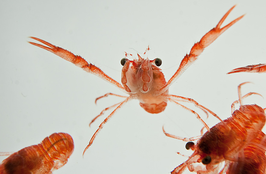 Shrimps swimming image 1x