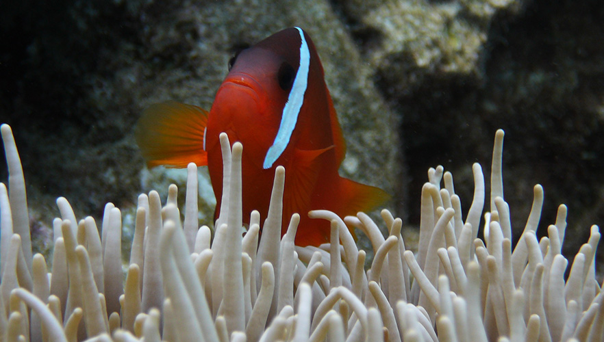 An orange tropical fish swimming above coral image 1x