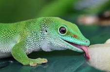 Green lizard licking a plant with its tongue