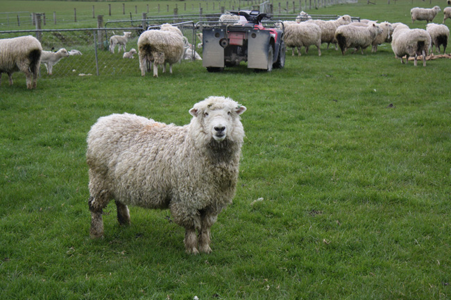 Sheep in paddock image