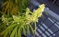 marijuana plant image