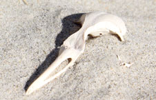 Little Penguin Skull image