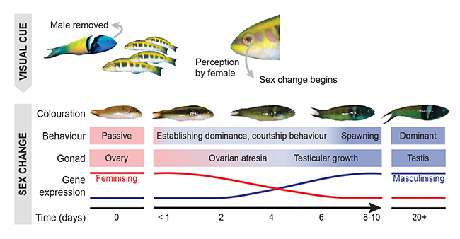 Fish sex change infographic