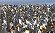 King penguins thumbnail new