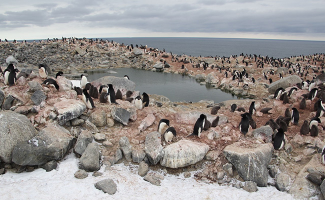 Adelie penguins credit_Theresa Cole