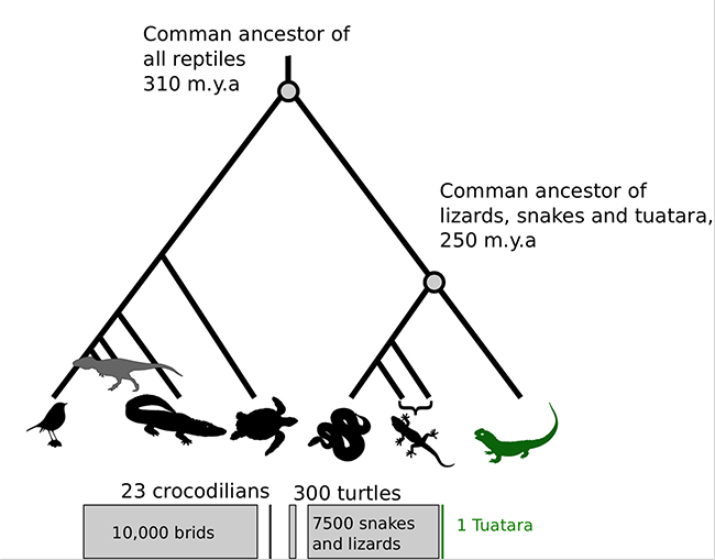 Tree diagram showing Tuatara common ancestors. Lizards, snakes and tuatara are 250 million years ago. Common ancestor all reptiles, 310 million years ago.