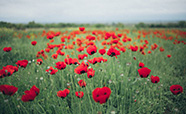 Poppies in field thumbnail