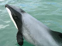 A Hector's dolphin