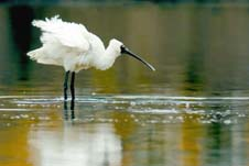 Spoonbills live on Otago Peninsula, and are increasingly seen foraging on West Harbour as well.