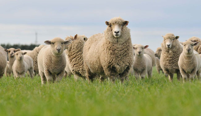 Sheep and Lambs-web