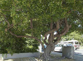 A tree with a myriad of leaves resembling the liver