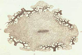 A single liver lobule - Drawing from Beale's microscope 1880