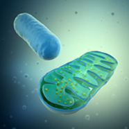 Computer-generated image of a mitochondrion