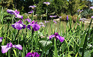 Irises overlooking one of the ponds in the Christchurch Botanic Gardens&nbsp;(2015)<br />Photo: Alice Milnes