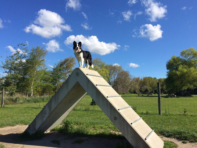 A Border Collie atop equipment at the Groynes dog activity park (Oct 2016)
