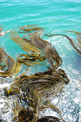 Bull-kelp in the Southern Ocean