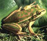 Green and Golden Bell Frog.
