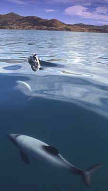 Hector Dolphin at sea