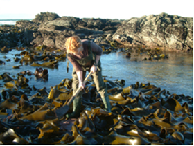 Fig.-7-Kelp-holdfast-sampling-in-southern-New-Zealand