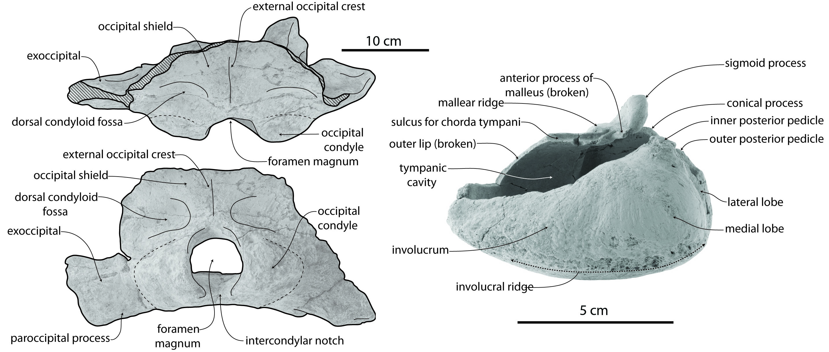 Tohoraata Primitive Baleen Whales Eomysticetidae From The